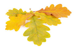 Autumn oak leaves isolated on white Royalty Free Stock Photography
