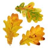 Autumn oak leaves isolated on white background. Stock Images