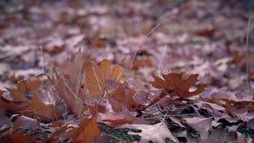 Autumn Oak Leaves på jordbakgrunden stock video