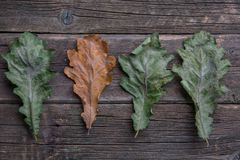 autumn oak leaves in a row, royalty free stock photo