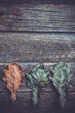 autumn oak leaves in a row, royalty free stock photos