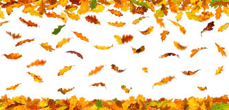 Autumn oak leaves Royalty Free Stock Image