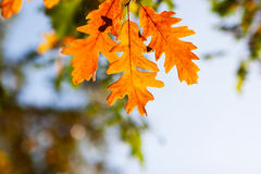 Autumn oak leaves in sunlight Royalty Free Stock Image