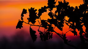Autumn Oak Leaves At Sunset. Oak Leaf Silhouette Against The Beautiful Sunset stock video footage