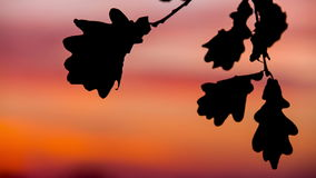 Autumn Oak Leaves At Sunset. Oak Leaf Silhouette Against The Beautiful Sunset stock footage
