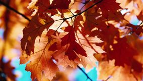 Autumn oak leaves swaying in the wind. HD video stock video footage