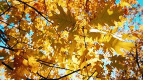 Autumn oak leaves swaying in the wind. HD video stock footage