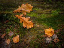 Autumn oak leaves on timber Royalty Free Stock Photo