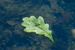 Autumn oak sheet floating in water Stock Photo