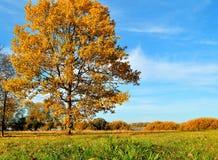 Autumn oak tree in autumn field in sunny weather- autumn landscape Stock Photos