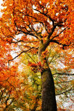 Autumn oak tree Royalty Free Stock Photos