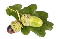 Autumn oak tree fruit, acorns,  isolated on white background. Close up royalty free stock photo