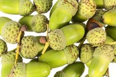 Autumn oak tree fruit, acorns, isolated on white background. Close up royalty free stock image