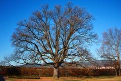Autumn oak tree in garden stock photo