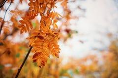Autumn oak-tree leaves Royalty Free Stock Image