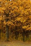 Autumn oak-tree leaves Royalty Free Stock Photo