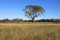 Autumn oak tree Royalty Free Stock Images