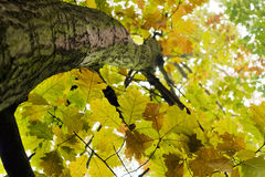 Autumn oak tree - look up Stock Images