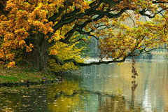The autumn oak tree over water of  pond Royalty Free Stock Images