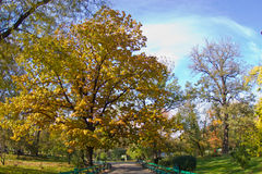Autumn oak tree in a park. Oak tree in autumn colors over a park alley Stock Photos