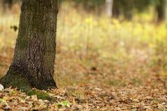 Autumn oak tree in park Royalty Free Stock Photos