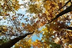 Autumn oak tree tops Stock Photography