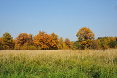 Autumn oak trees. View at autumn oak trees royalty free stock photos