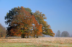 Autumn Oak Trees, Stamford 134. A little spinney of majestic Oak Trees, wearing their Autumn colours.  The field is just outside a small village called Stamford Royalty Free Stock Image