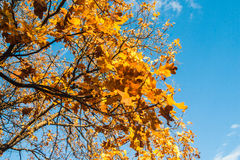Autumn oak twig on blue sky background. Horizontal photo, photo is usable on picture post card, calendar, gardening Stock Photo