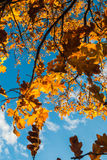 Autumn oak twig on blue sky background. Vertical photo, photo is usable on picture post card, calendar, gardening Stock Image