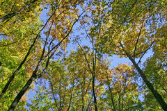Autumn Oaks Royalty Free Stock Images