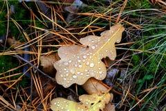 Autumn oaks leafage Royalty Free Stock Photography