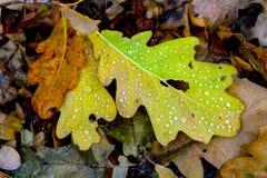 Autumn oaks leafage Stock Image
