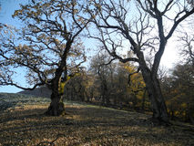 Autumn oaks. Autumn oak trees old yellow leaves wilting wilting shadow pacification appeasement Stock Images