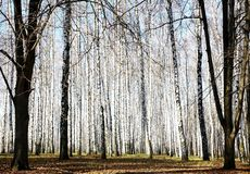 Autumn october birch grove with sunbeams and shadows Royalty Free Stock Images