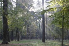 Autumn. October. Sunny morning in the pine forest. Fog and rays of light stock photos