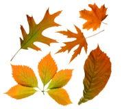 autumn odizolowane liście Fotografia Stock