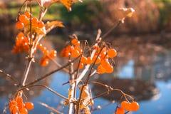 Autumn orange berries royalty free stock photos
