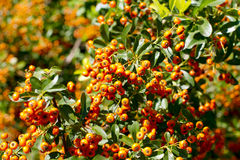 Autumn orange berries. Rutgers Pyracantha Royalty Free Stock Photos