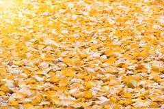Autumn orange fallen leaves Stock Images