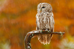 Autumn orange forest. Tawny owl in the forest with tit bird in the talon. Brown owl sitting on tree stump in the dark forest habit Royalty Free Stock Photos