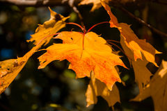 Autumn Orange Leaves imagens de stock royalty free