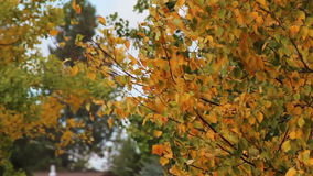 Autumn Orange Leaves On Trees Blowing In Wind. Many colorful autumn leaves blowing on trees in wind-no audio stock footage