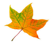 Autumn orange maple leaf with green streaks Stock Images