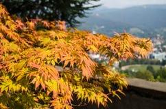 Autumn maple leaves on city background. Autumn orange maple leaves on brunch of tree on city background, Bergamo, Italy. Seasonal color change Stock Image