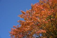 Autumn orange maple tree Stock Photo