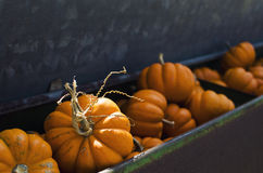 Autumn orange mini pumpkins in antique bin at the orchard. Stock Image