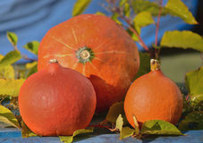 Autumn orange pumpkins. Stock Photo