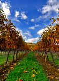Autumn orange vineyard Royalty Free Stock Photography