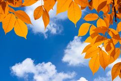 Autumn orange vivid leaves over blue sky with clouds. Autumn orange vivid leaves over blue sky with white clouds royalty free stock images